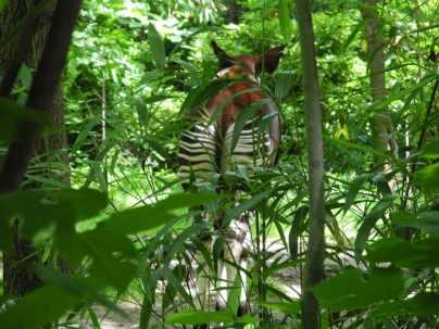 Okapi butt
