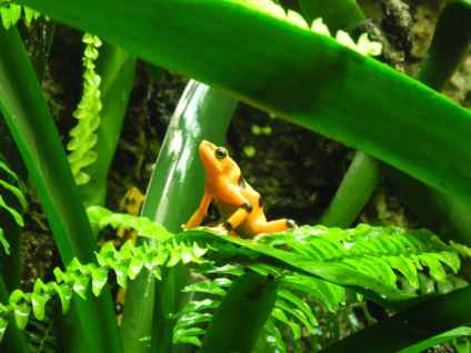 A bright orange poison dart frog.