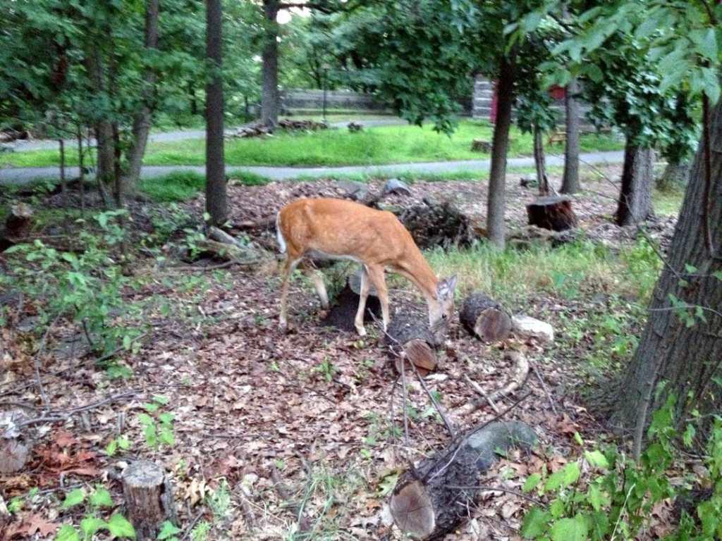 Wild deer in Fort Lee Historic Park