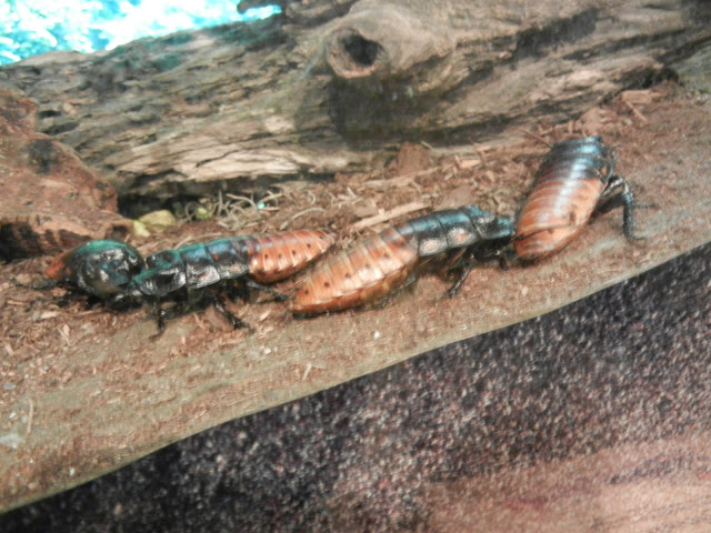 The nasty hissing cockroaches that are living in the ant farm, since all the ants are gone.