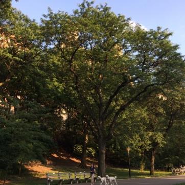 Woman walking dogs in Riverside Park
