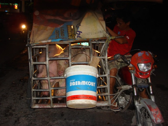 3 Pigs Riding a Motorcycle