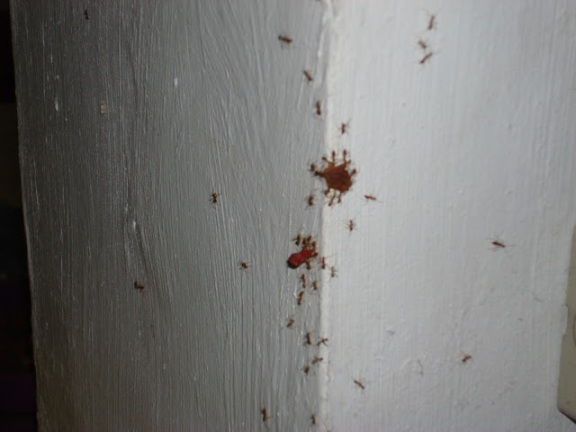 Ants in the Philippines, stealing cat food.