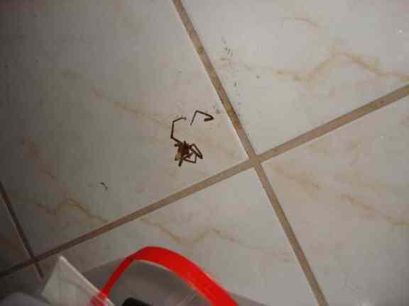 Squashed Cane Spider