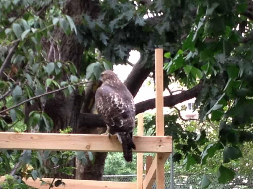 Washington Park Hawk 1